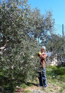 Mira pflegt unsere Olivenbäume
